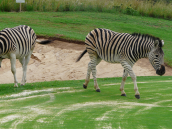 1 Legend Golf Safari Resort Zebras auf dem Golfplatz